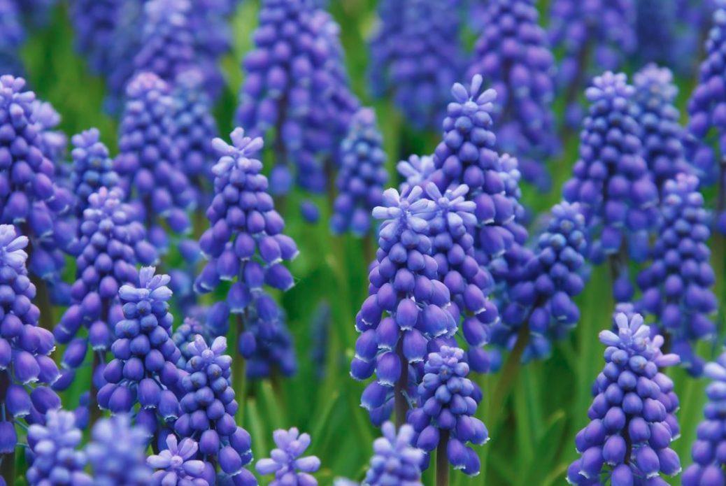 Cuidado con los bulbos de jacinto. Son tóxicos.