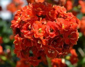 Kalanchoe (Kalanchoe ssp)