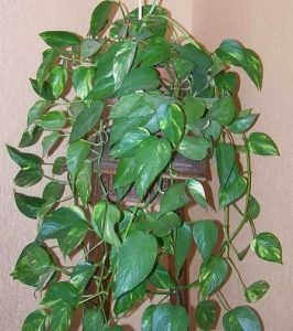 Pothos (Scindapsus y Epipremnum)