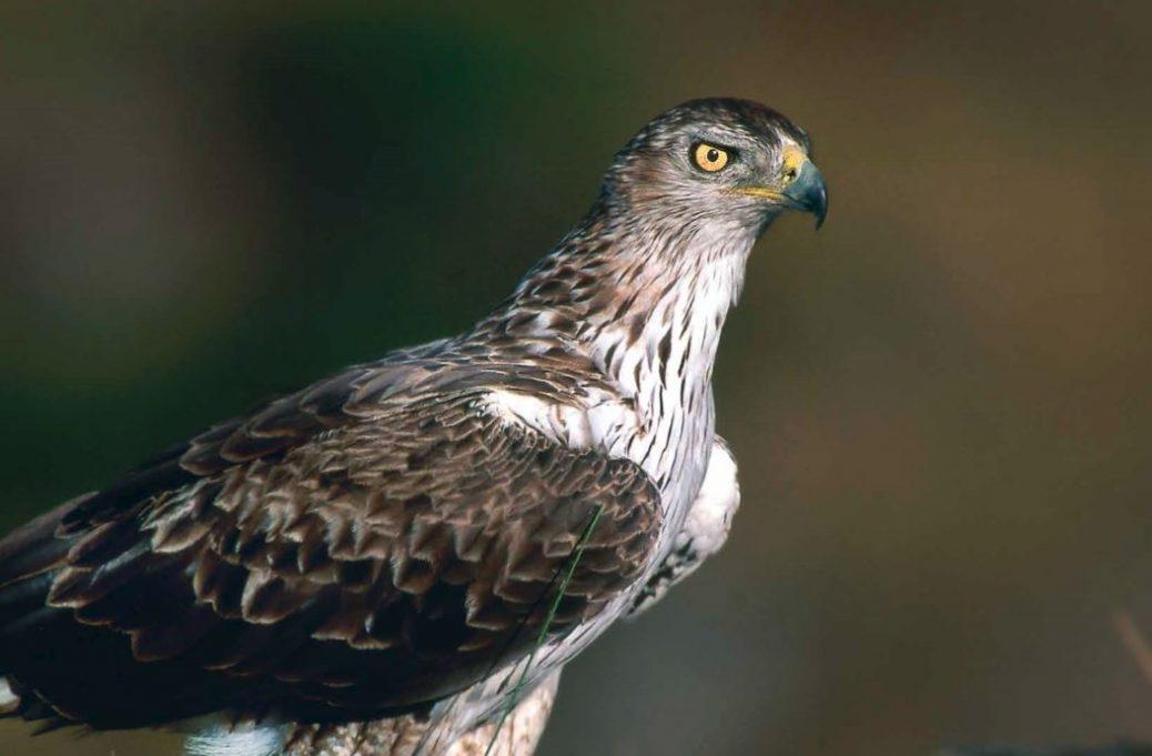 Reintroducción del águila Bonelli: Proyecto Bonelli