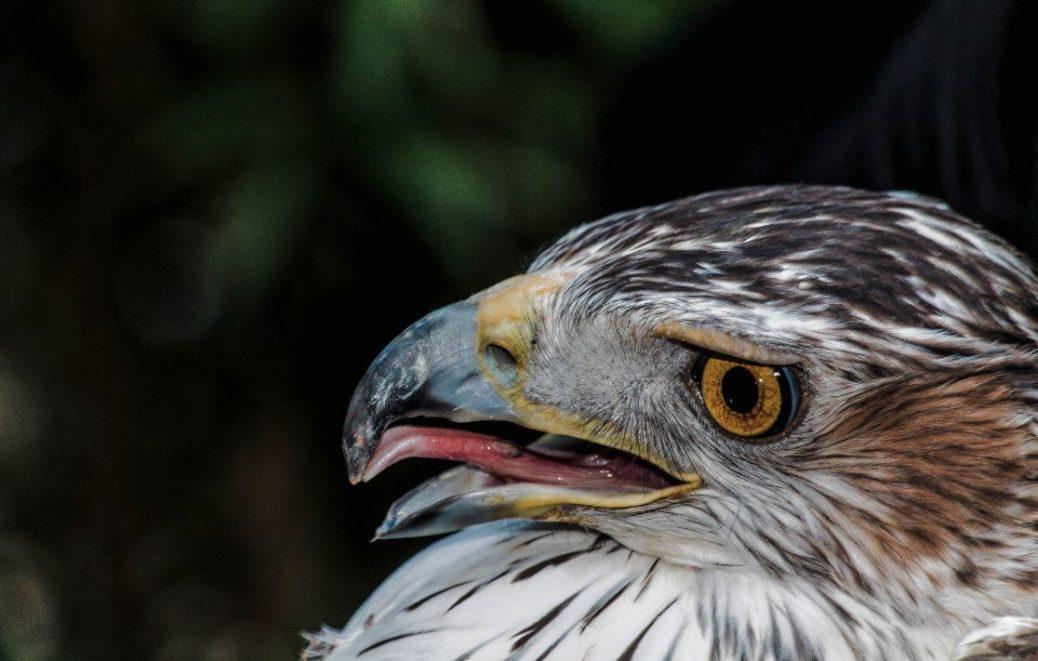 Águila de bonelli (perdicera)