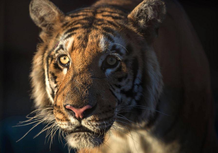 El tigre Laziz.