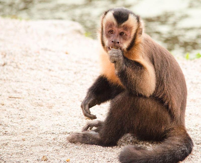 Los monos capuchinos son muy hábiles y usan herramientas de piedra con las que rompe otras rocas y genera lascas. ¿por qué hace esto? ¿Están afilando piedras para usarlas como herramientas? Parece que no.