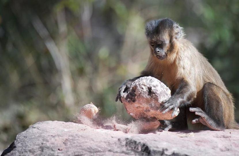 el mono silbador (Sapajus libidinosus) de Brasil también pueden fabricar herramientas de piedra.