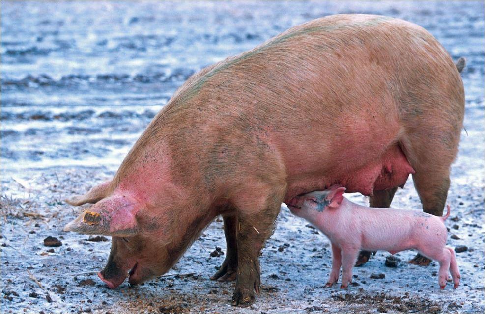 l nuevo estudio fue diseñado para explorar cómo el estado de ánimo y la personalidad afectan la forma en que los cerdos son optimistas o pesimistas.