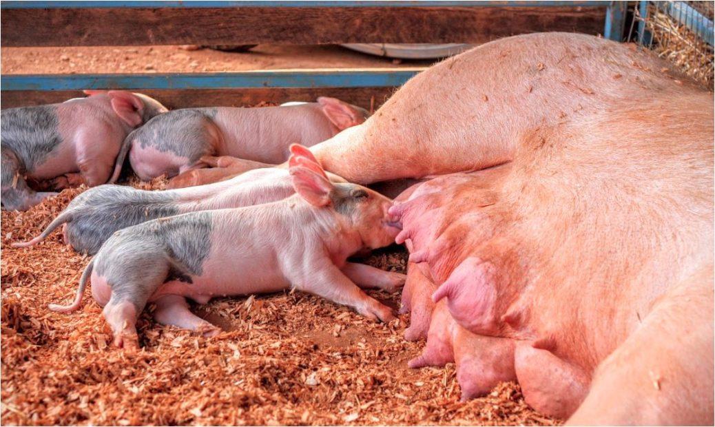 Los juicios y decisiones que toma un cerdo se rigen por su estado de ánimo, ya sea bueno o malo, y su tipo de personalidad, según nuevas investigaciones.