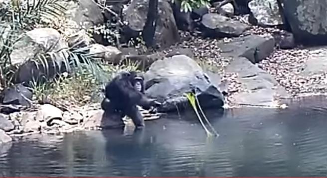 Los chimpancés han descubierto las propiedades de las algas como alimento.