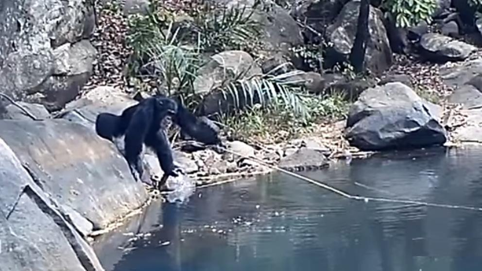 Chimpancé 'pescando' en Guinea.