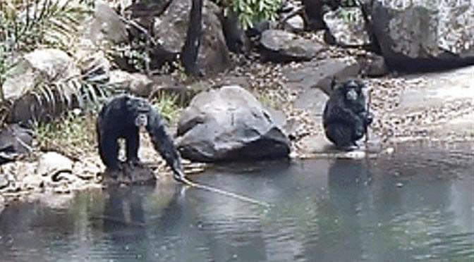 ¿Los chimpancés saben pescar?