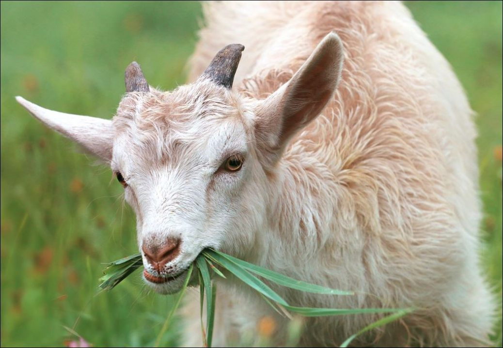 Proteger el bienestar de un animal significa garantizar sus necesidades físicas y mentales. la crianza de animales ya no sólo se ve como un medio de producción de alimentos, sino como un problema ético.