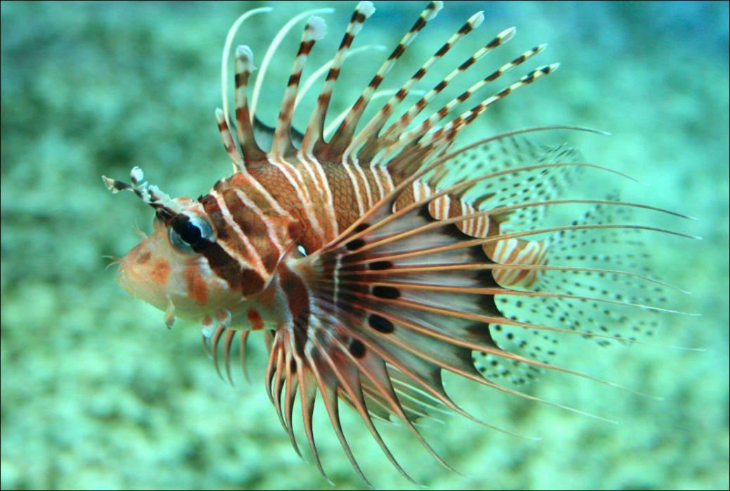 El pez león o pez escorpión, es originario de arrecifes del Océano Índico tropical y el Pacífico occidental, pero se ha extendido a casi todos los mares del mundo.
