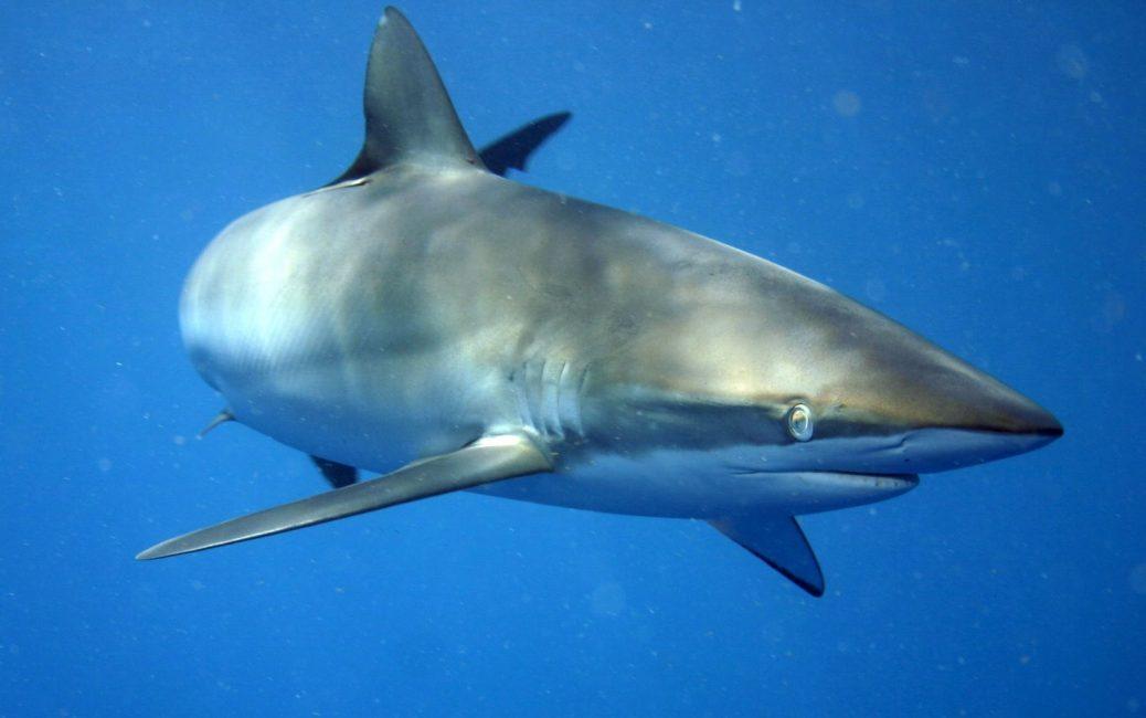Tiburón de morro negro o limón.