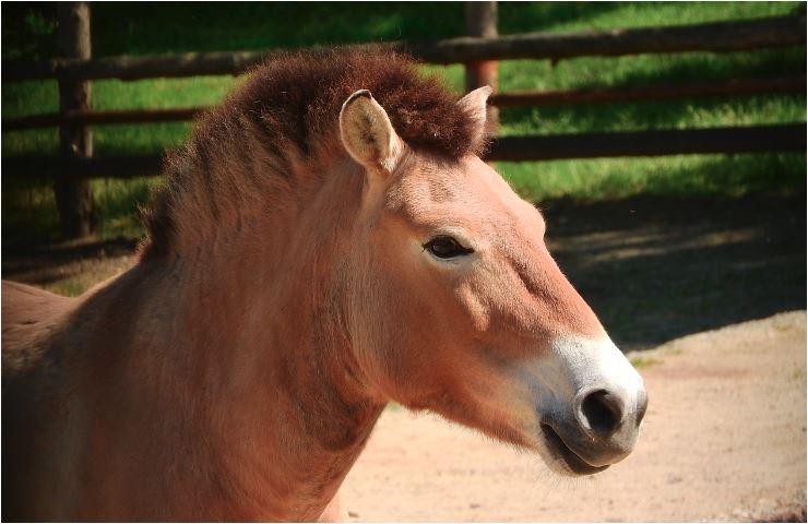 El caballo de Przewalski (Equus ferus przewalskii)