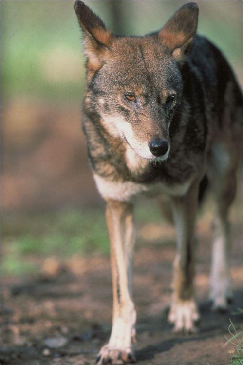 Se trata de uno de los lobo más amenazado del planeta.
