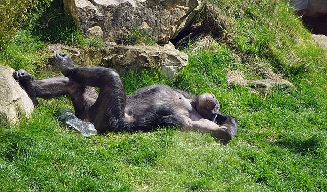 Chimpance relajado. Enriquecimiento ambiental.