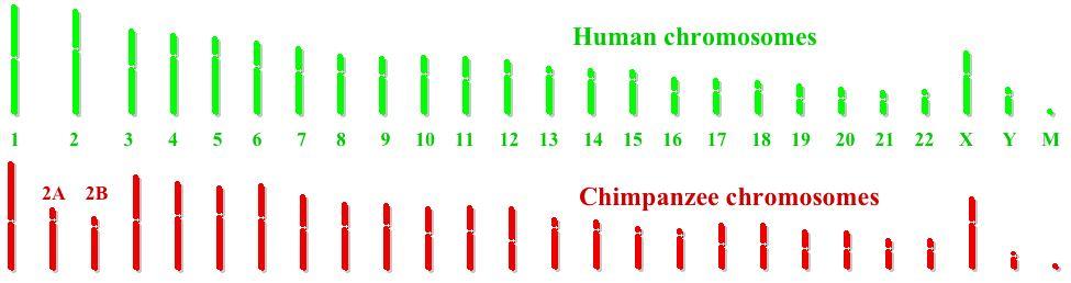 Comparaciones de genoma entre humanos y chimpancés.