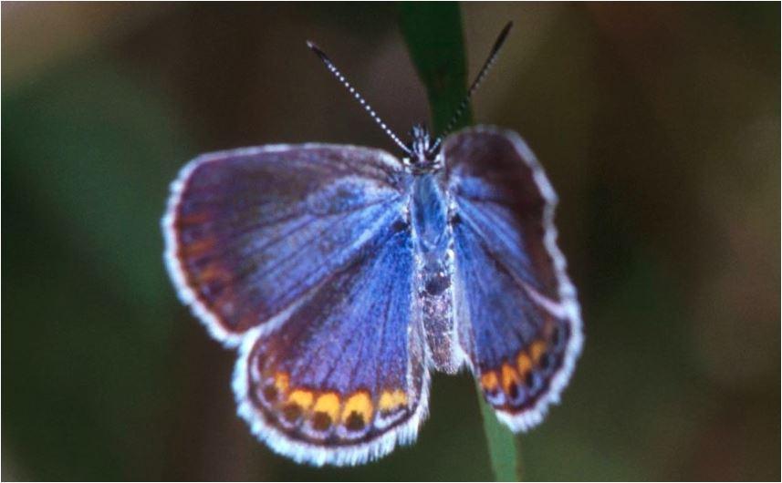Mariposa azur Karner (Plebejus melissa samuelis)