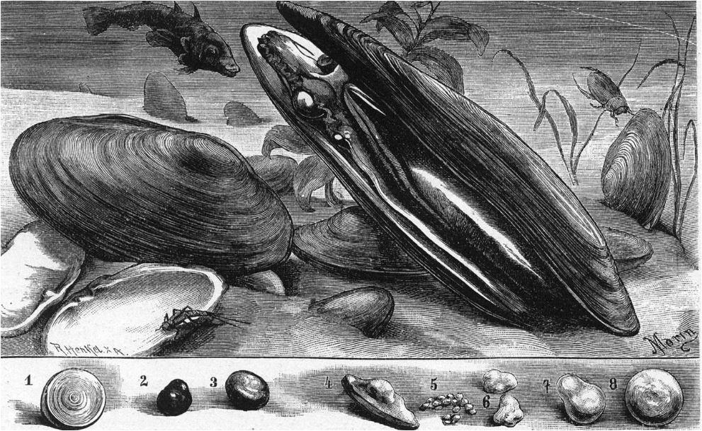 l mejillón de agua dulce (Margaritifera margaritifera)