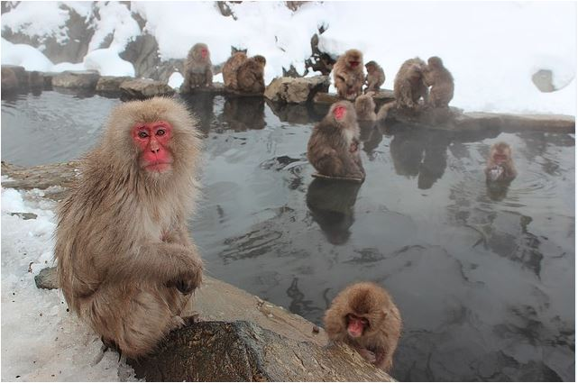 Macaco japonés (Macaca fustata).