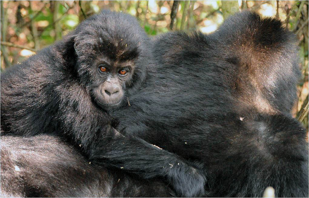 Según Radar Nishuli, director del parque, para aumentar las poblaciones del gorila Grauerhay que hacer mucho más... Imagen: A.J.Plumptre/WCS.