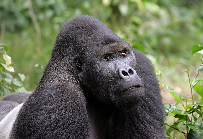 Gorila grauer. Fuente: By Graueri Gorilla at English Wikipedia, CC BY 2.5,.