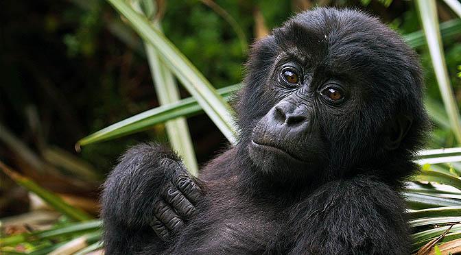 La guerra del coltán y los gorilas. Un viaje a la extinción.