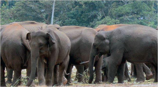 Manada de elefantes.