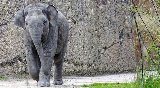 Manejo y Cuidado de Elefantes.