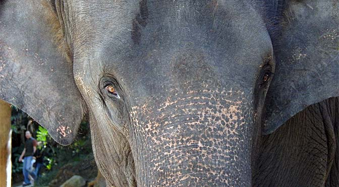 Mirada de elefante.