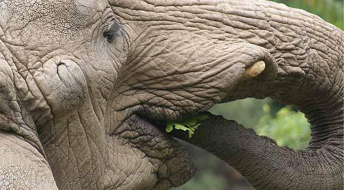 Trastornos en dietas con elefantes.