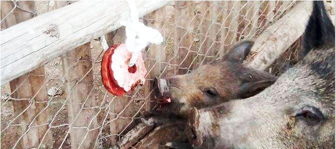 BiPork un juguete comestible para cerdos